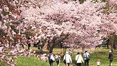 札幌で今年初の「夏日」 サクラは満開