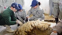 ヒツジの毛刈り初体験 遠別農業高1年生