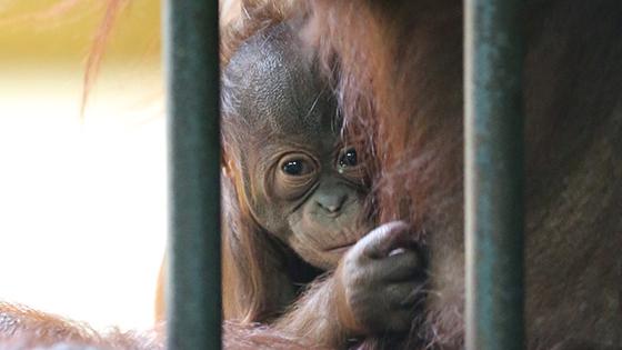 オランウータン赤ちゃん公開 円山動物園