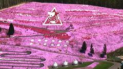 ピンクじゅうたん満開ひがしもこと芝桜公園