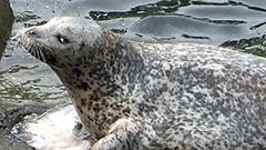 46歳トラ大往生 日本最高齢アザラシ<おたる水族館楽しい仲間たち>