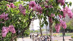 札幌でライラックまつり 初夏の紫、香り甘く