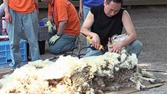 真夏日目前 ヒツジ毛刈りで身軽に 円山動物園