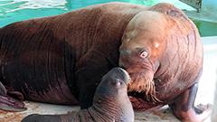 セイウチのウーリャ出産、授乳<おたる水族館楽しい仲間たち>