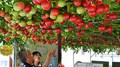 見上げれば…トマト3000個! 恵庭えこりん村