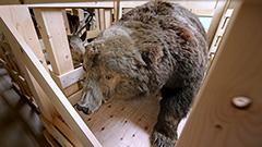 丘珠「人食いグマ」はく製も<未公開博物館>2北大植物園博物館