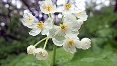 透ける花びら ネットで話題 支笏湖周辺で咲く