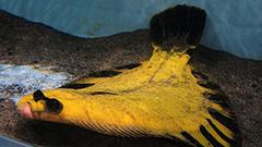 旬の生き物 珍しい魚も<おたる水族館楽しい仲間たち>6