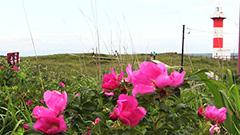 ハマナス 潮風に香りのせ 石狩で見ごろ