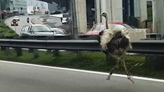 ダチョウが高速道路1時間激走 無事捕獲 マレーシア首都