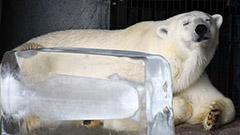 真夏日…氷柱にホッキョクグマ満足 旭山動物園