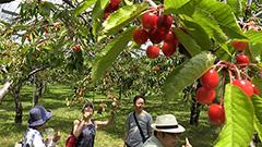赤く熟した実が鈴なり 浜益でサクランボ狩り