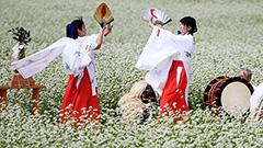 ソバ畑で女子中学生らが松前神楽 福島町